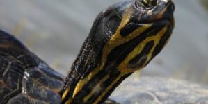 Crvenouha kornjača