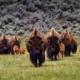 Bizoni i činjenice o njima