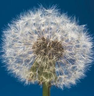 Maslačci su dosadan mali korov koji samo želi biti voljen poput cvijeća