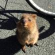 Quokka – najsretnija životinja na Zemlji