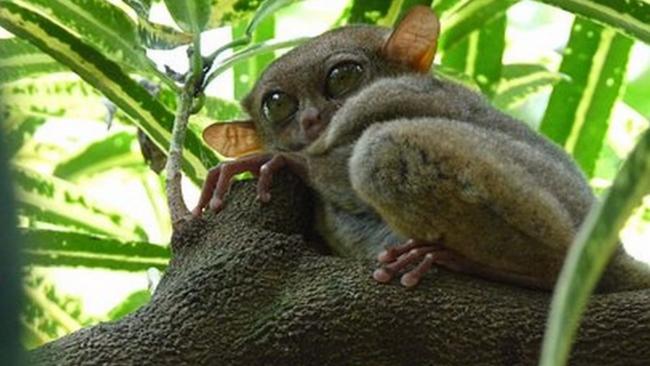 Filipinski tarsier – minijaturni sisavac krupnih očiju