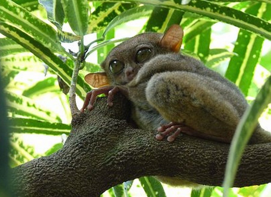 Filipinski tarsier
