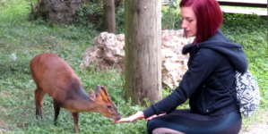 Muntjak (Muntiacus reevesi) – mali jelen koji laje