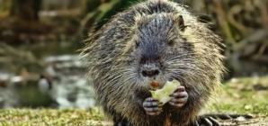 Popis EU invazivnih stranih životinjskih vrsta