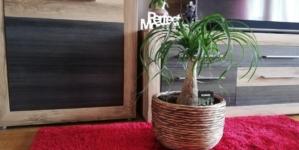 Slonova noga  – idealna sobna biljka za lijenčine