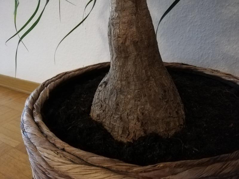Slonova noga