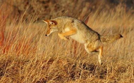 Zašto kojoti i jazavci love zajedno?