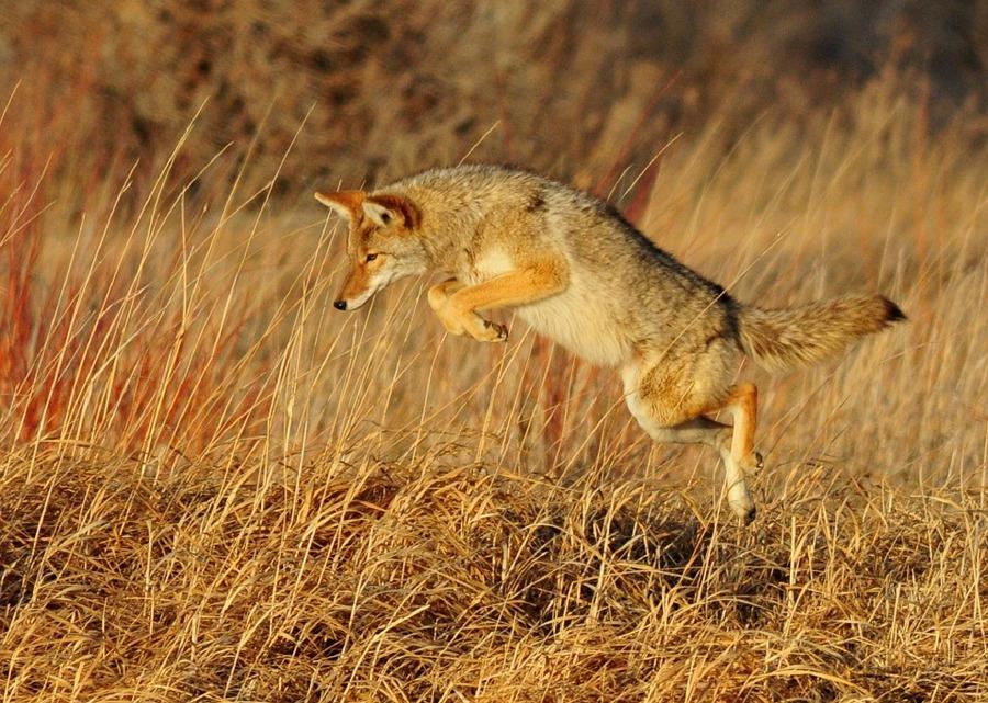 Kojoti